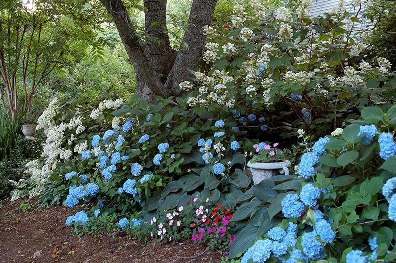 Hydrangeas Yard N Garden Land